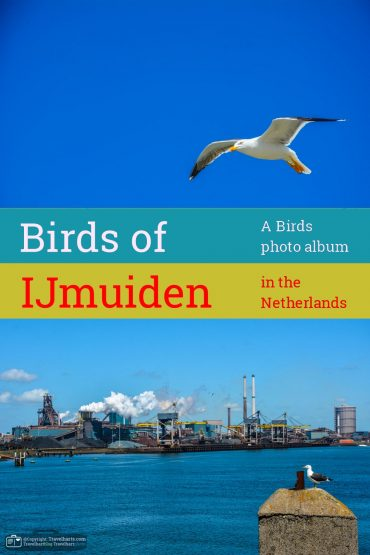 IJmuiden, the birds of fort IJmuiden – The Netherlands